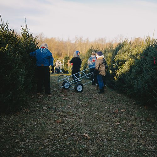 Choose And Cut Christmas Trees At Dull S Tree Farm